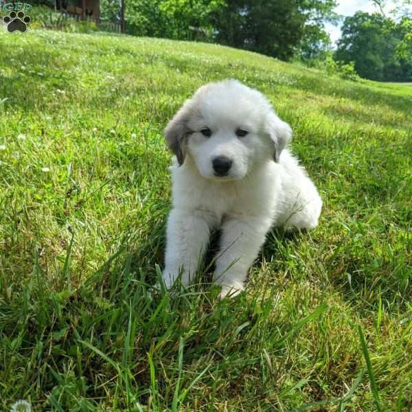 Biscuit, Great Pyrenees Puppy