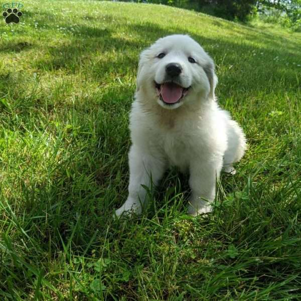 Blair, Great Pyrenees Puppy