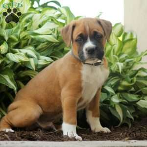 Boxador Puppies For Sale Boxador Dog Breed Info Greenfield Puppies