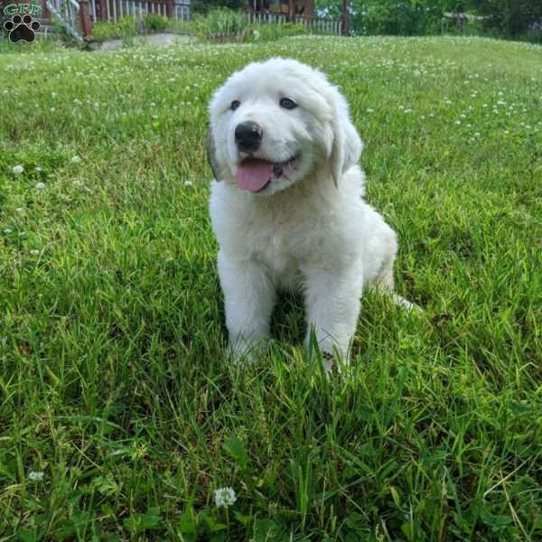 Buddy, Great Pyrenees Puppy