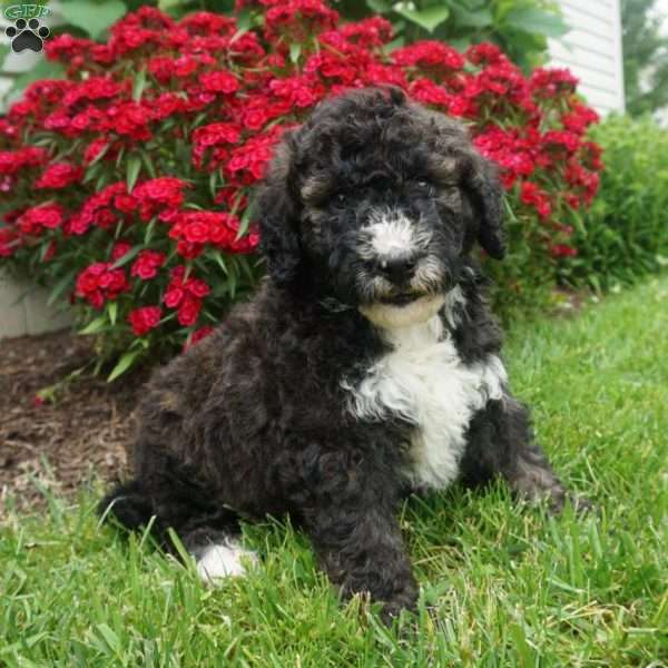 Chester, Portuguese Water Dog Mix Puppy