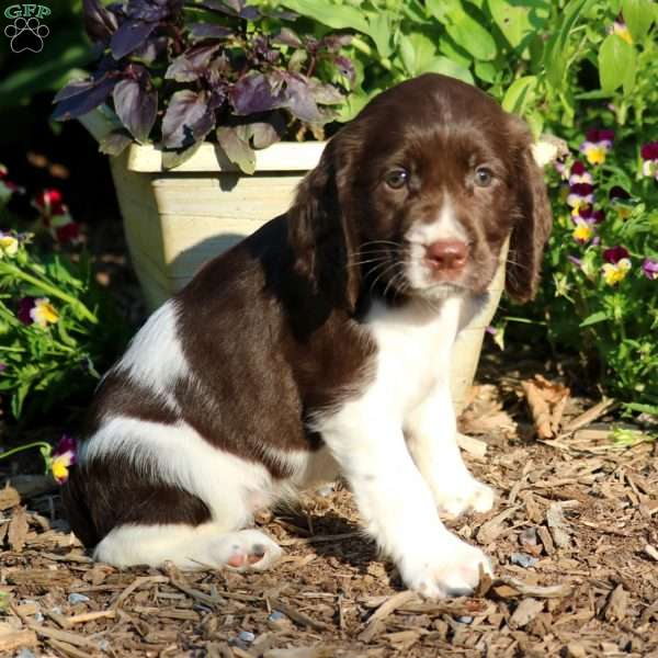 Chippy, English Springer Spaniel Puppy