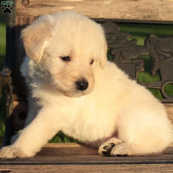 Cole, Portuguese Water Dog Mix Puppy