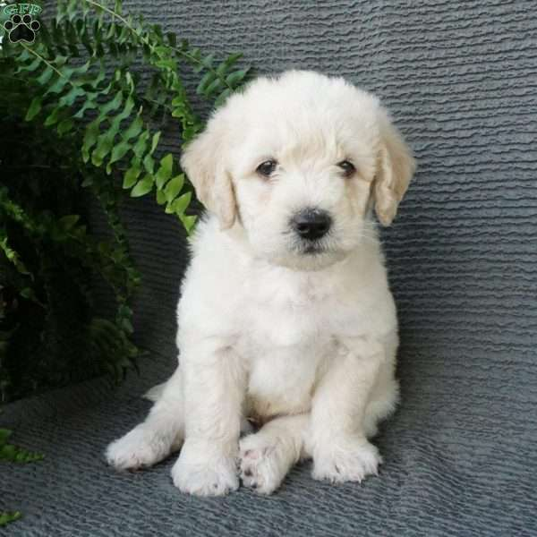 Colton, Mini Labradoodle Puppy