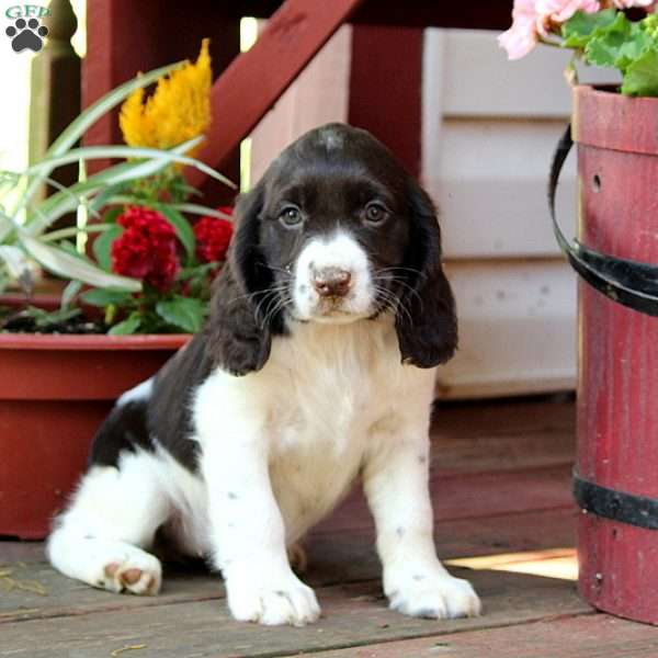 Janae, English Springer Spaniel Puppy