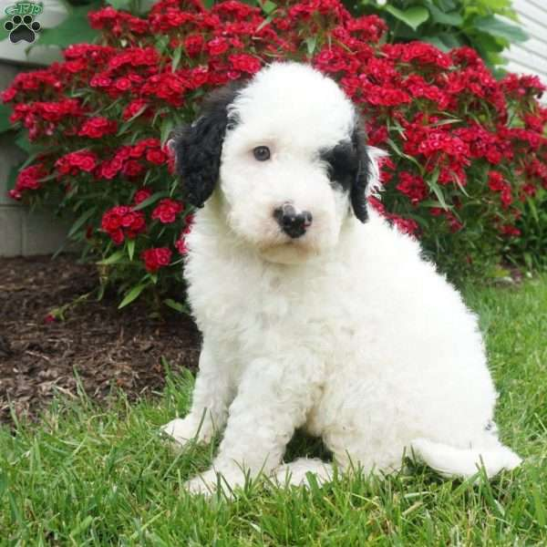 Theo, Portuguese Water Dog Mix Puppy