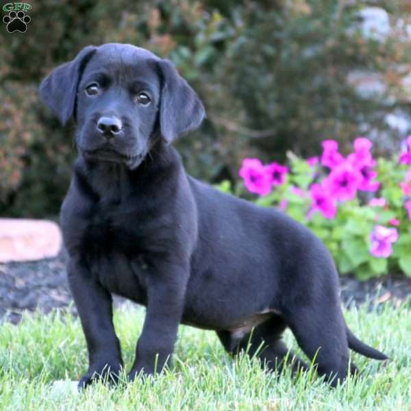 King, Black Labrador Retriever Puppy