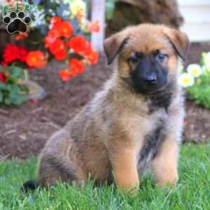 Belgian Malinois Mix Puppies For Sale Greenfield Puppies