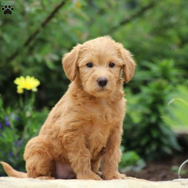 Lacey, Mini Labradoodle Puppy