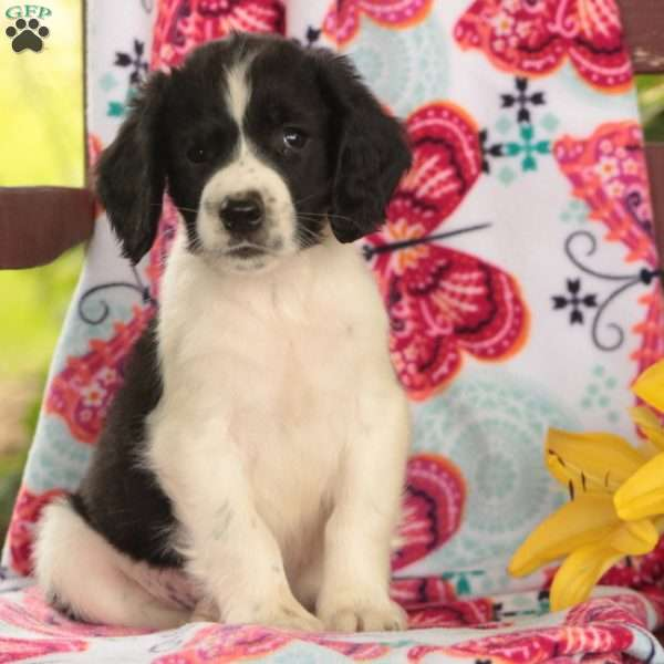 Pickles, English Springer Spaniel Puppy