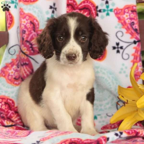 Piper, English Springer Spaniel Puppy