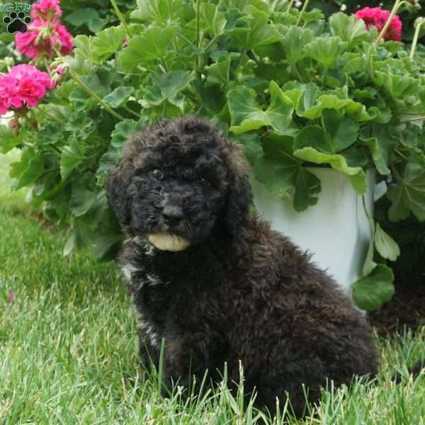 Riley, Portuguese Water Dog Mix Puppy