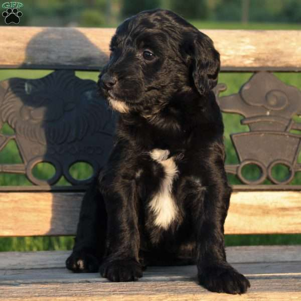 Sassy, Portuguese Water Dog Mix Puppy