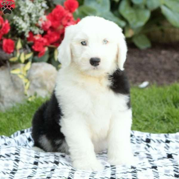 Tanzy, Old English Sheepdog Puppy