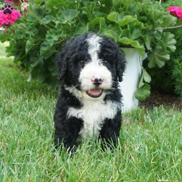 Toby, Portuguese Water Dog Mix Puppy