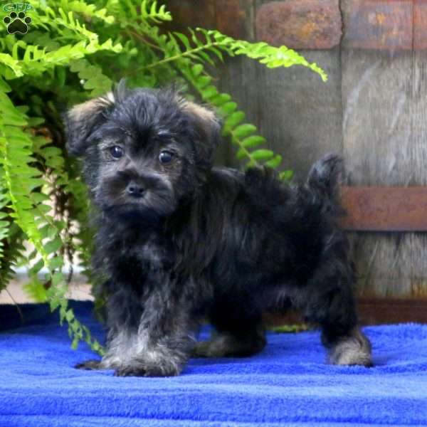 Willow, Mini Schnoodle Puppy