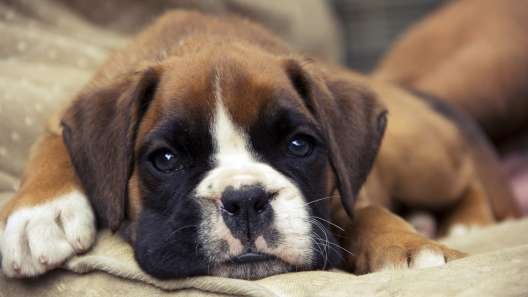 5 Things to Know About Boxer Puppies