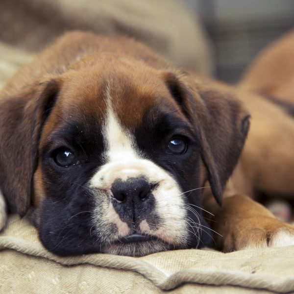 a boxer puppy lying on a dog bed