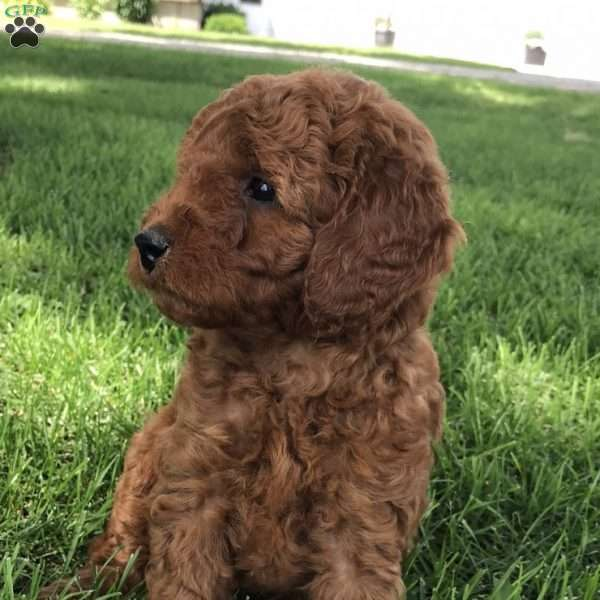 Ace, Mini Labradoodle Puppy
