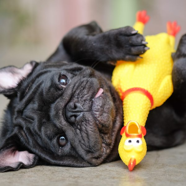 black pug playing with a rubber chicken