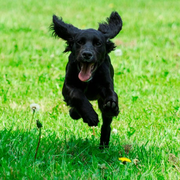 black spaniel puppy running in a yard