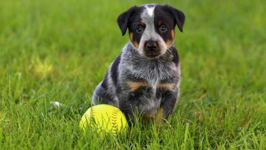 5 Things to Know About Blue Heeler Puppies
