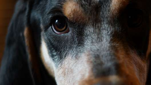 5 Things to Know About Bluetick Coonhound Puppies
