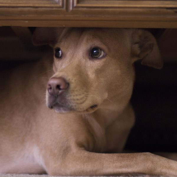 dog hides under coffee table