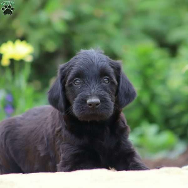 Lady, Mini Labradoodle Puppy