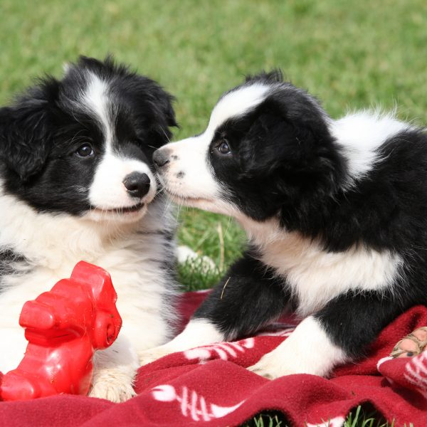 two border collie puppies playing on a blanket in grass
