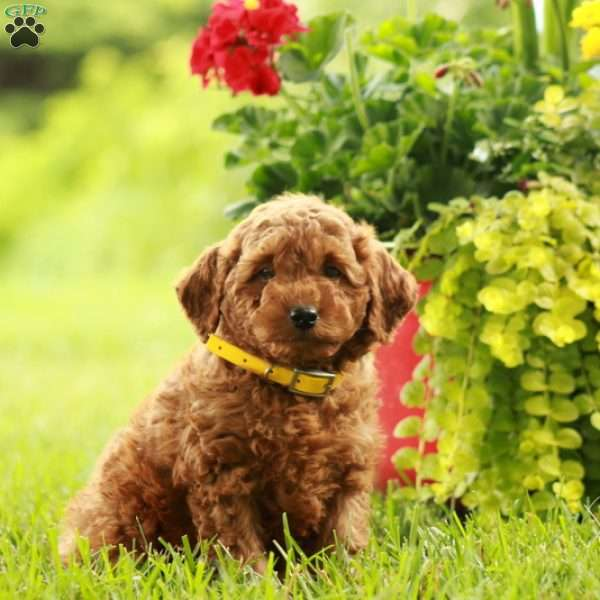 Albert-F1B, Mini Labradoodle Puppy