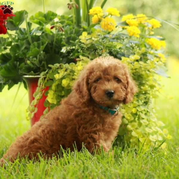 Andy-F1B, Mini Labradoodle Puppy