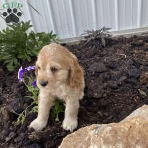 Cocker Spaniel Puppies For Sale Cocker Spaniel Breed Info Greenfield Puppies