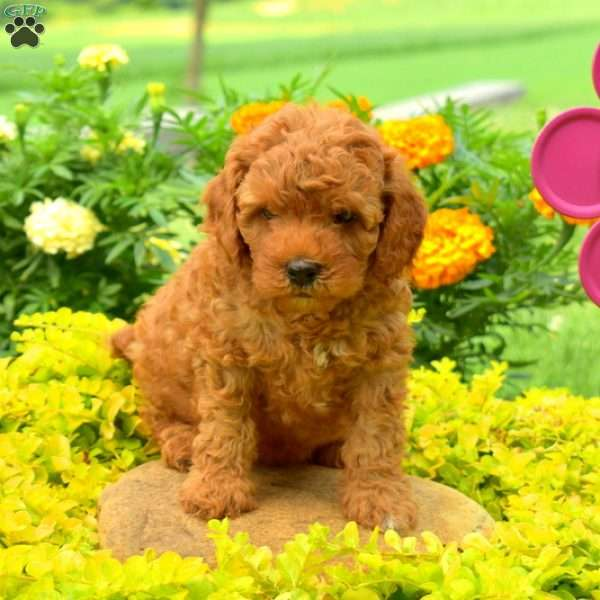 Bouncer Cavapoo Puppy For Sale In Pennsylvania