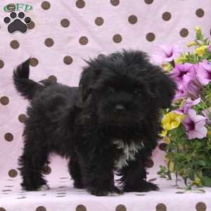 Shorkie Puppies For Sale Greenfield Puppies