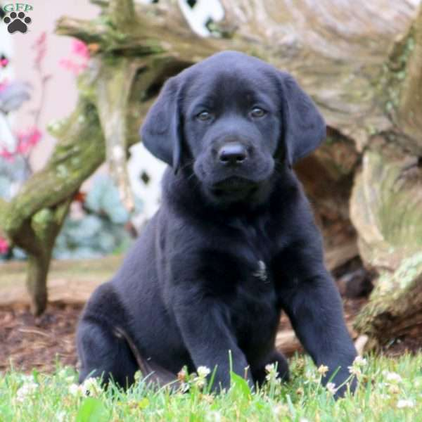 Lucas, Black Labrador Retriever Puppy