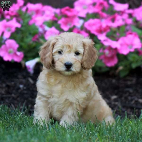 May, Mini Labradoodle Puppy