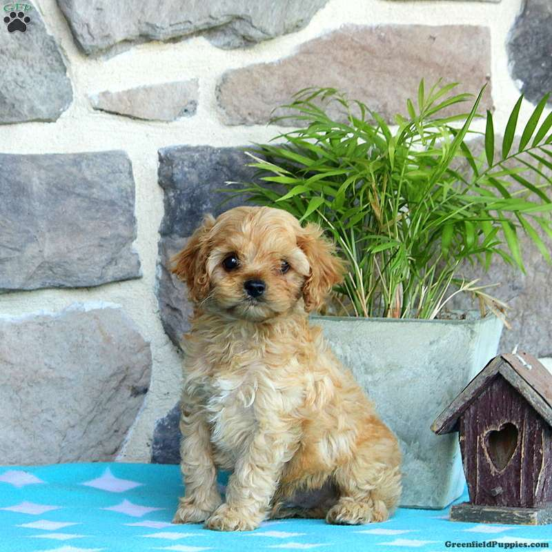 Mikey Cavapoo Puppy For Sale In Pennsylvania