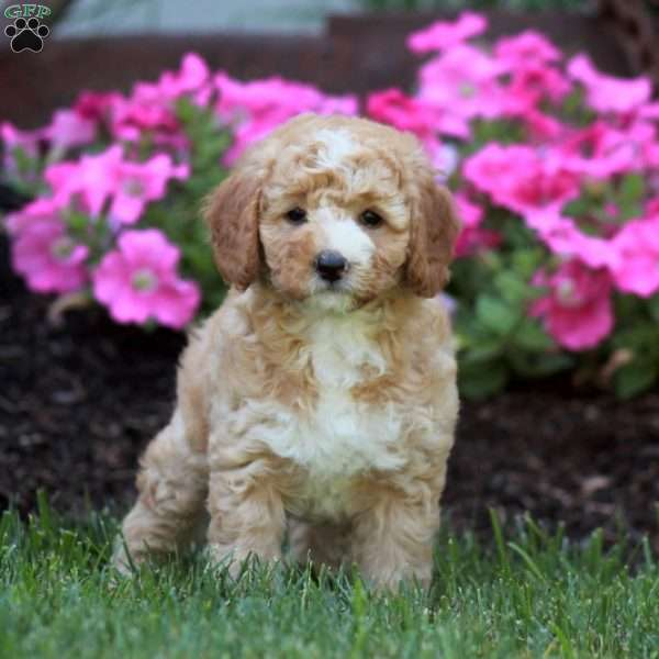 Minnie, Mini Labradoodle Puppy
