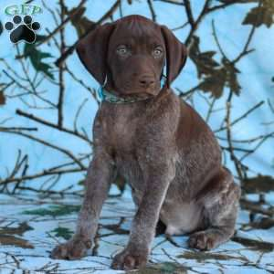 German Shorthaired Pointer Puppies For Sale Greenfield Puppies