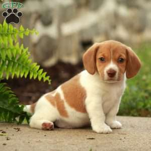 Beagle Mix Puppies For Sale Greenfield Puppies