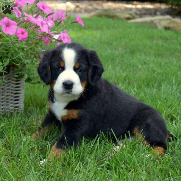 Toby, Labernese Puppy