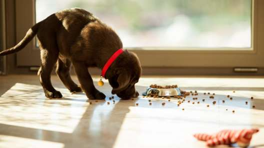 Why Do Dogs Carry Food Away From Their Bowl To Eat It?