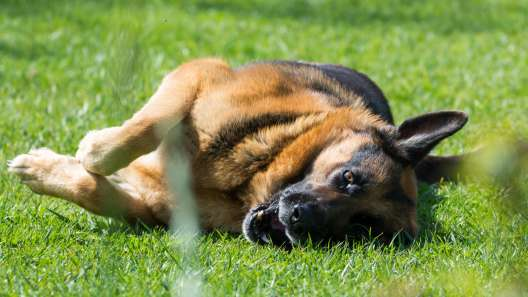 Why Do Dogs Roll in Smelly Stuff? 5 Reasons Why Dogs Roll in Smelly Stuff