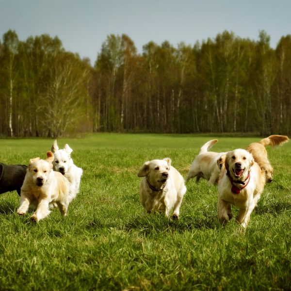group of dogs running across grass