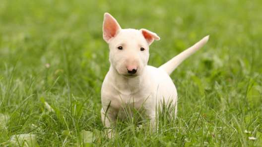 4 Things to Know About Bull Terrier Puppies