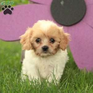 Cavachon Puppies For Sale Cavachon Dog Breed Greenfield Puppies
