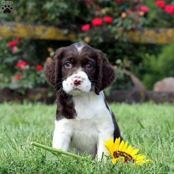 Brittany, English Springer Spaniel Puppy