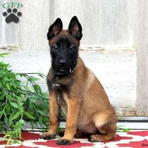 Belgian Malinois Puppies For Sale Greenfield Puppies