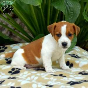Jack Russell Terrier Puppies For Sale Greenfield Puppies